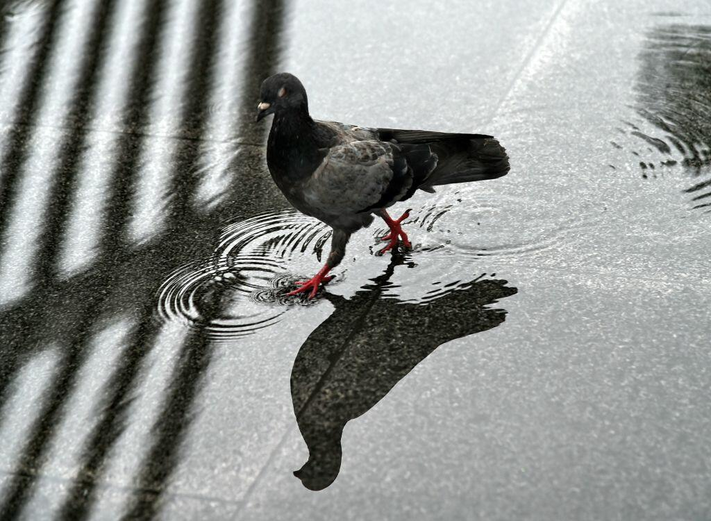 A pigeon walks through a puddle after it rained in Singapore on May 18, 2017. / AFP PHOTO / ROSLAN RAHMAN        (Photo credit should read ROSLAN RAHMAN/AFP/Getty Images)