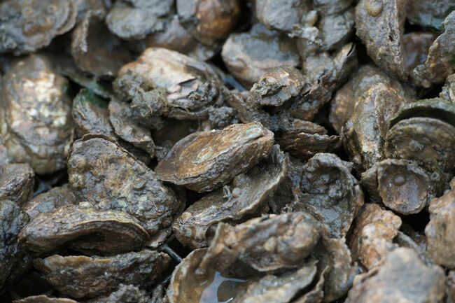 US-ECONOMY-INDUSTRY-OYSTER-FARMING