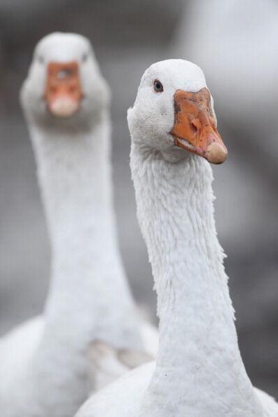 Goose Farmers Prepare For Christmas Season