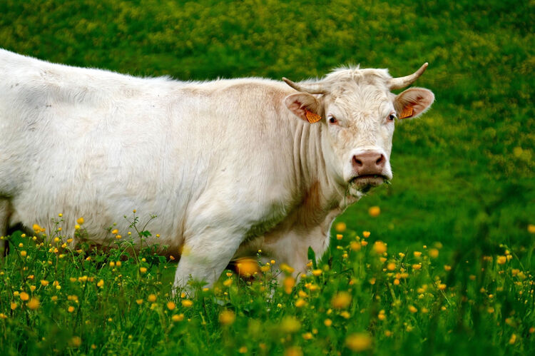 Portrait Of A Cow On Landscape
