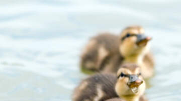 Charlie Munson - Firefighters Use YouTube To Save Four Scared Ducklings