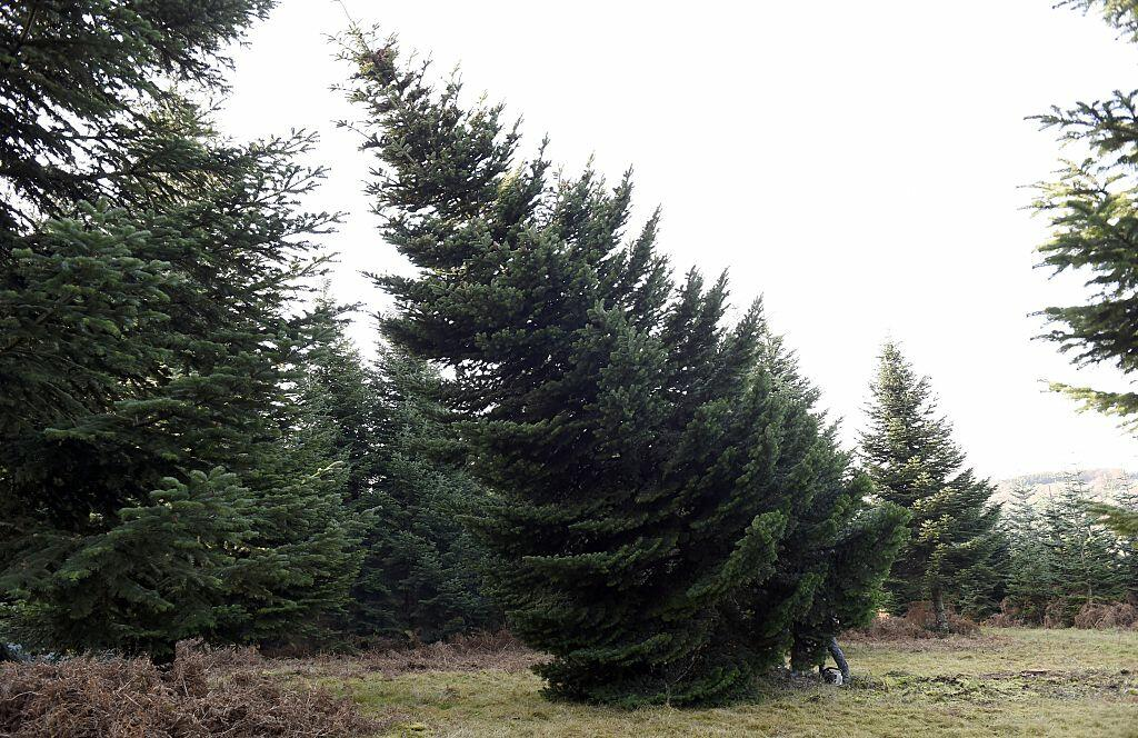 A tree that will be displayed at the Elysee presidential palace for Christmas is cut at a Christmas tree farm in Brassy in the north-central French region of Morvan on November 24, 2014. Morvan is the main region in France for the cultivation of Christmas