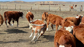 Ric Rush Afternoons - Too Many Americans Believe Chocolate Milk Comes from Brown Cows