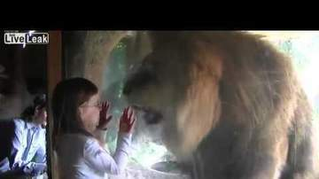 Chris Carmichael - WATCH: Lion Wants To Eat Little Girl!