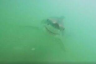 Great White Sharks Found in 10-Feet of Water at Seal Beach!