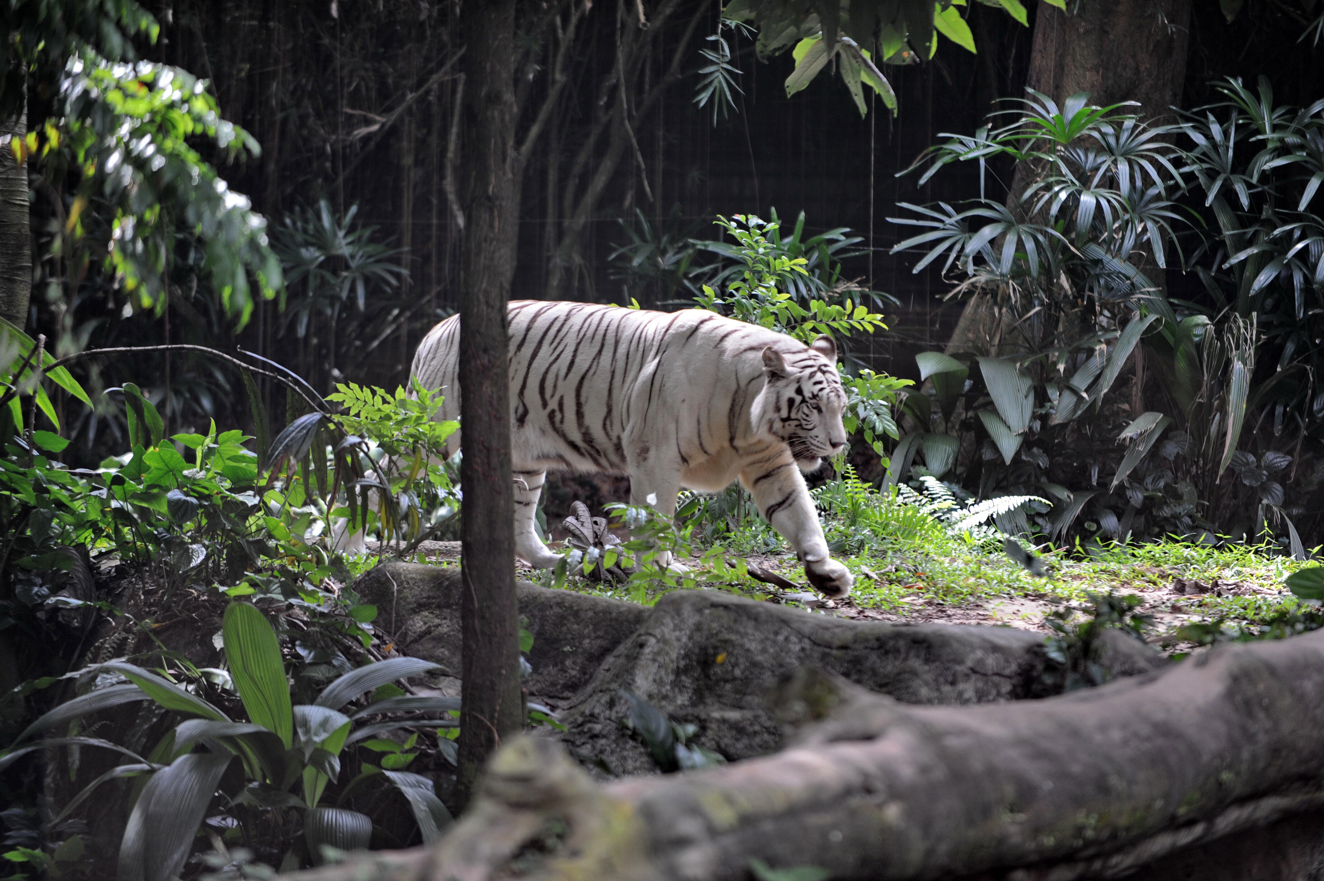 Singapore-wildlife-science-tourism-animals,FEATURE by Philip Lim Photo taken on January 13, 2010 shows a white tiger roaming around within its enclosure at the zoological garden in Singapore.  Sporting spiked hair and silver earrings in each ear, Samuel T