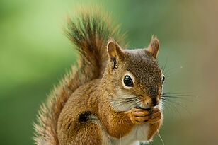 Squirrel Stops Rory McIlroy