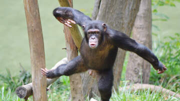 Houston - GOOD NEWS: Anonymous $2M Donation Will House Chimps Rescued From Research