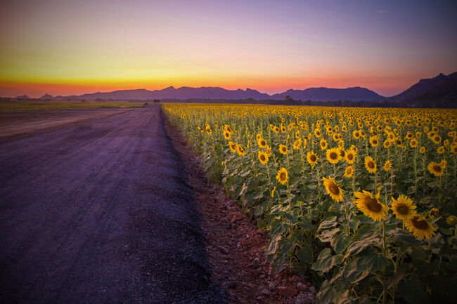 Field of blooming sunflowers on a background sunset or twilight