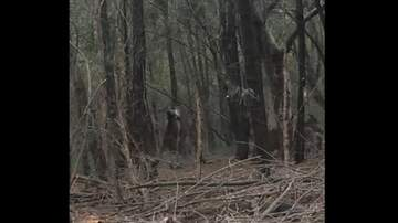 Coe Lewis - Kangaroos Caught Fighting In The Forest [VIDEO]
