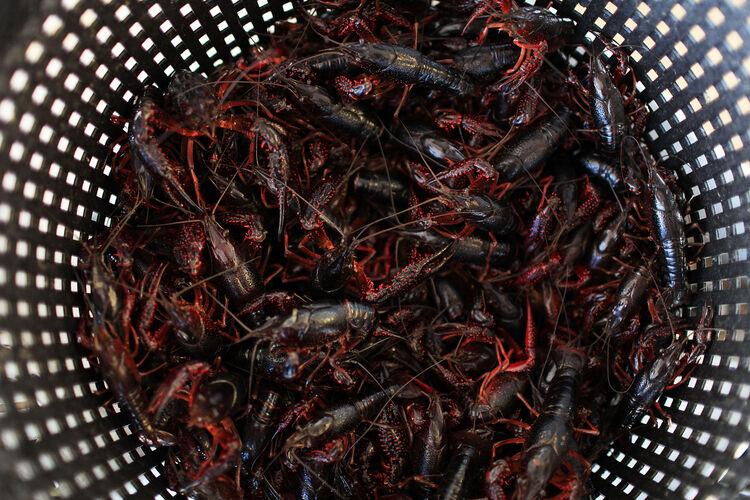Crawfish Getty Images