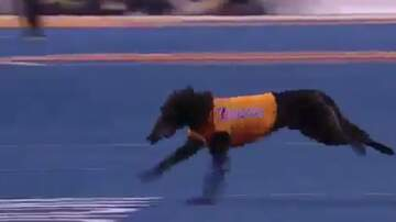 TKA - Dog Retrieves Tee After Kick Off