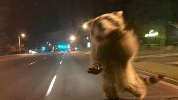 WTF!? News - Raccoon Hitches Ride with Colorado Springs Police Department