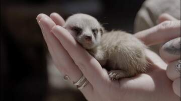 Jim Show - Baby Meerkats Explore For The First Time!