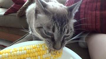 Jim Show - Cat Eats Corn on the Cob With His Human