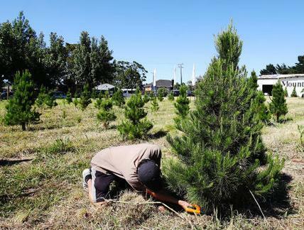 Keep Your Christmas Tree Fresh All December Long Theresa
