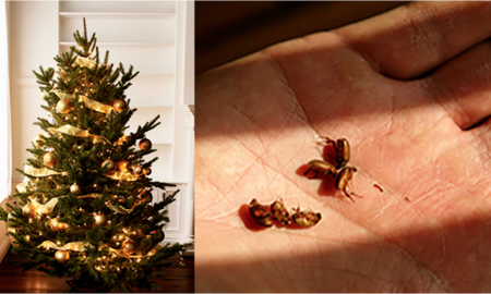 National News - Your Christmas Tree Could Be Infested With Up To 25,000 Bugs