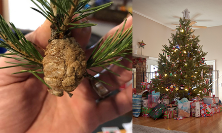 Weird News - If You See This Brown Thing On Your Christmas Tree, Throw It Out Fast
