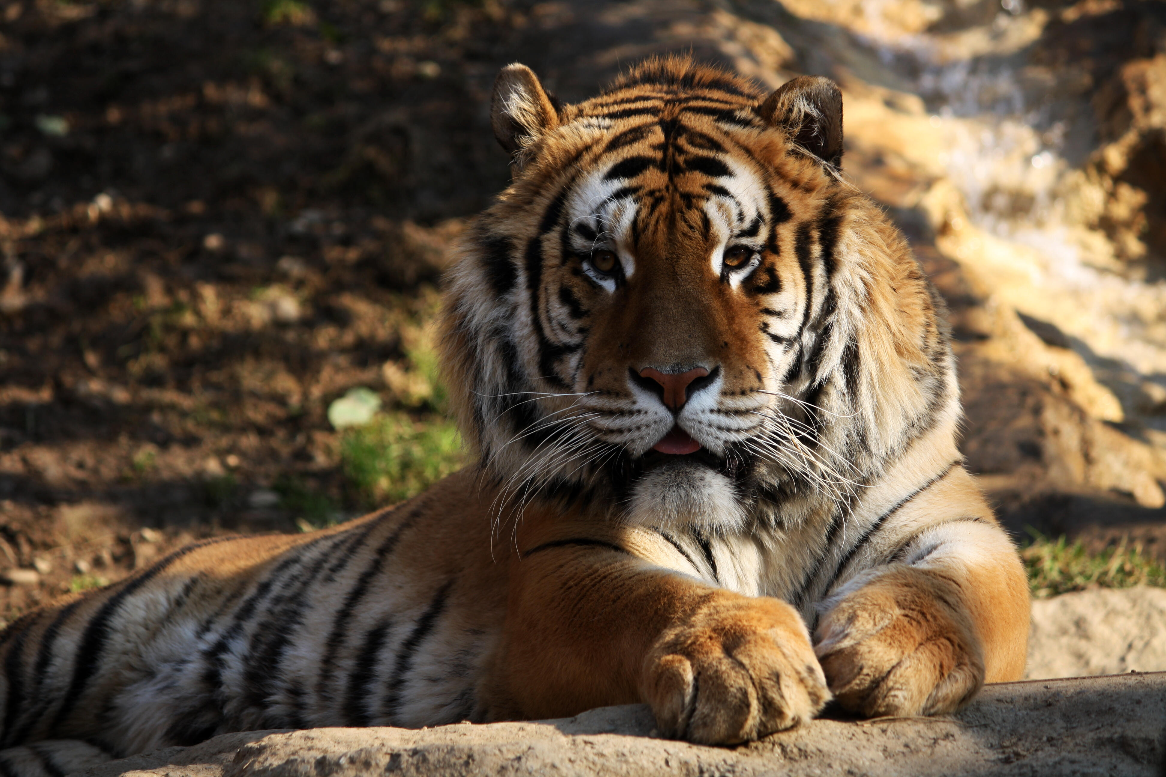 extinct animals danger tiger becoming serious population re malayan indochinese