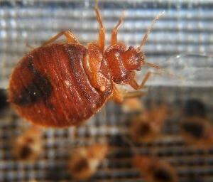 bedbug_getty images
