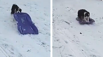 Mark - [ WATCH IT ] Adorable Dog Goes Sledding All By Herself