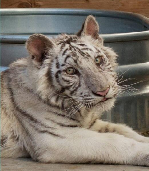 011740e577 The white tiger cub born march at in exoctics in wylie has been named kylo  ren