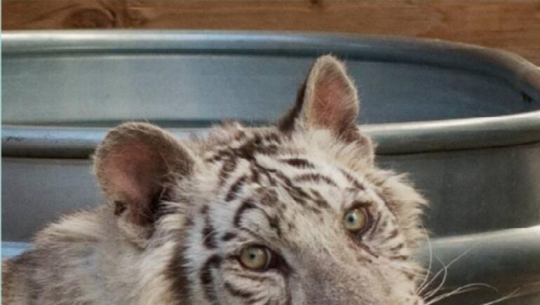 White Tiger Cub Born In Wylie Has A Name