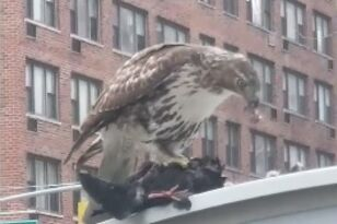 Hawk Devours Crow in Middle of City