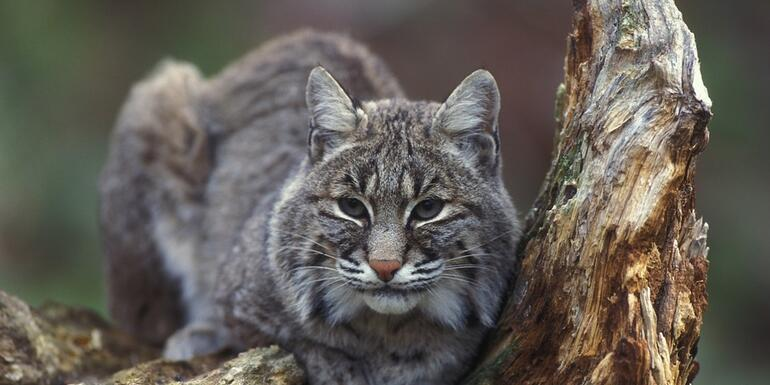 BOBCAT:Found On Gateway Clipper Boat Removed