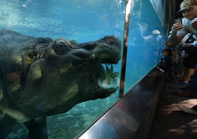 A hippopotamus also known as the common hippo swims in its enclosure at the San Diego Zoo, California on January 13, 2015. The name hippopotamus comes from the ancient Greek for 'river horse'. Hippos can be very aggressive toward humans. AFP PHOTO/MARK RALSTON (Photo credit: MARK RALSTON/AFP/Getty Images)