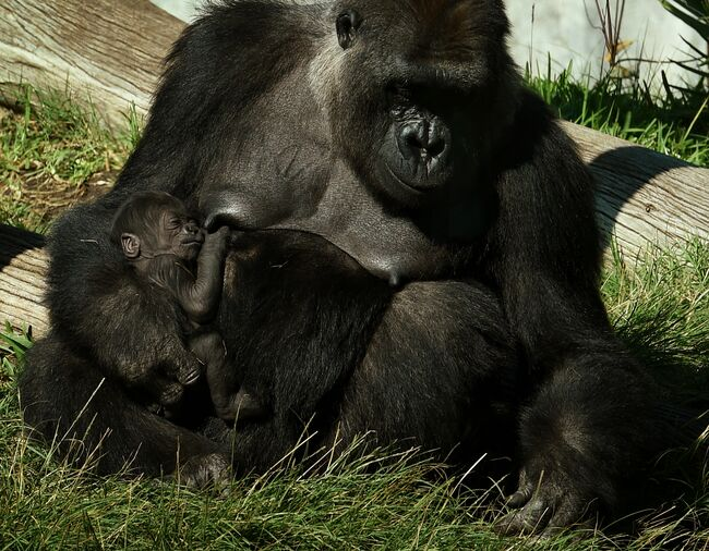 A gorilla named Jessica holds its two week old unnamed baby in its enclosure at the San Diego Zoo, California on January 13, 2015. A naming competition is currently underway for Jessica's sixth baby gorilla. Gorillas' live in tropical or subtropical forests in Africa. AFP PHOTO/MARK RALSTON (Photo credit: MARK RALSTON/AFP/Getty Images)