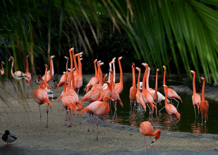 Flamingos wade through a pond inside their enclosure at the San Diego Zoo, California on January 13, 2015. Flamingos are mostly found in South America but can also be found in South Asia, Europe and Africa. AFP PHOTO/MARK RALSTON (Photo credit: MARK RALSTON/AFP/Getty Images)