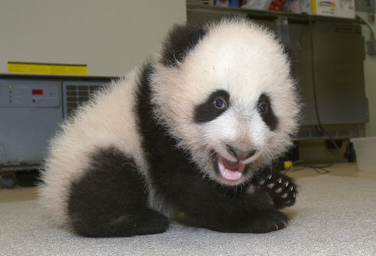 In this handout from the Zoological Society of San Diego, Su Lin, the San Diego Zoo's 16-week-old giant panda cub, shows off two of her new canine teeth during her weekly veterinary exam November 23, 2005 in San Diego, California. According to San Diego Zoo veterinarians, the cub now has 14 to 16 teeth. Su Lin weighs 11.3 pounds and measured more than 2 feet. (Photo by Ken Bohn/San Diego Zoo via Getty Images)