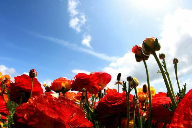 Carlsbad Flower Fields in Bloom - Getty Images