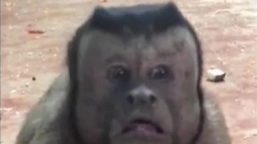 Weird, Odd and Bizarre News - Monkey With Human Face Freaks People Out At Zoo