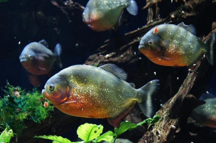 LISTEN: Craigslist Calls - Pet Piranhas   K102