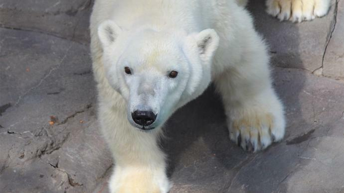 Henry Doorly Zoo S Only Polar Bear Moving To Kc Kgor Fm