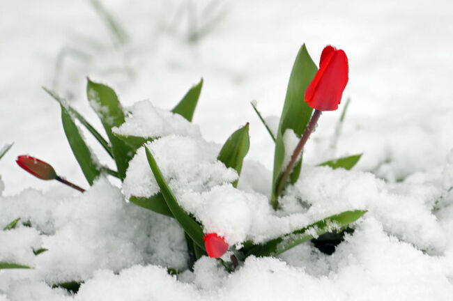 Flowers in the Snow / Getty Images
