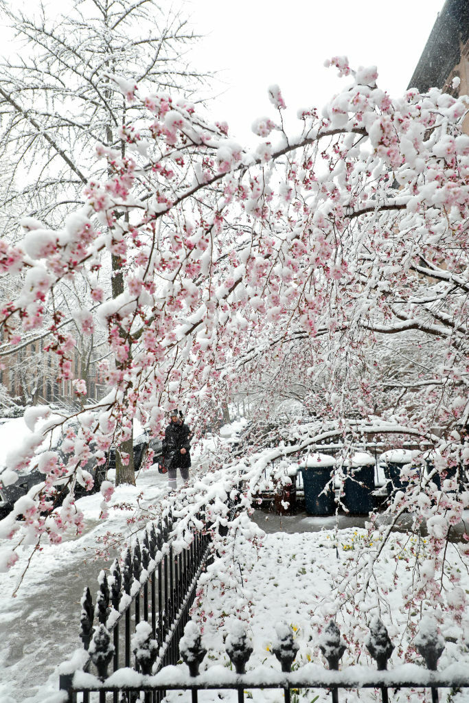 Snowy Cherry Blossoms / Getty Images