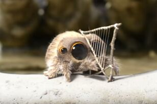 Lucas The Spider Has A New Musical Instrument To Play!