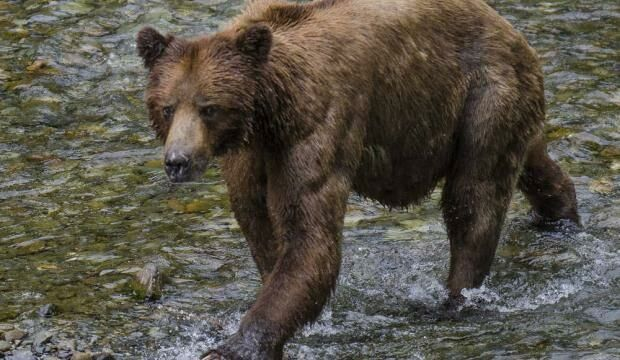 Bear mauls four dogs in Hoonah, gets killed