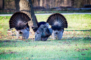 'Excited' Turkey Traumatizes Minneapolis Residents, Authorities Called