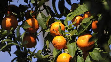 George Chamberlin - Some Chula Vista Property Owners Could Get Tax Break to Grow Fruit