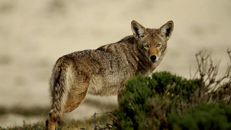 Coyote Sightings Becoming More Common Across South Florida