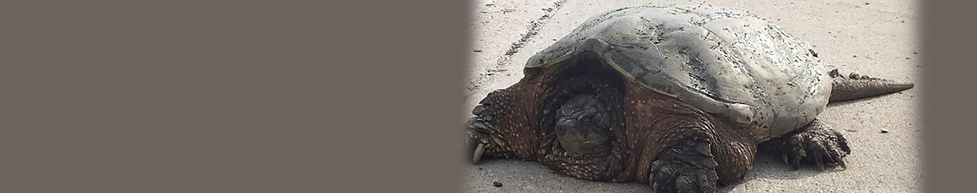 """""""Oh Snap"""" Huge turtle spotted in Ankeny"""