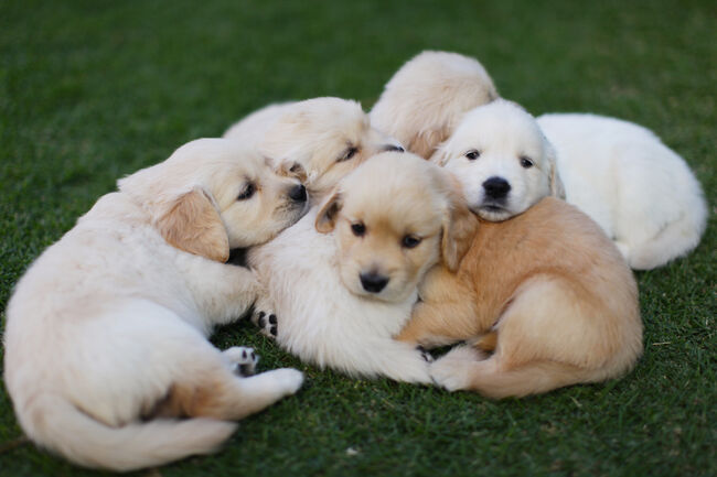 Golden Retriever Puppies - Getty
