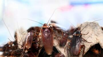 Chris Malone Taking You Home - Cockroach Milk May Be The Next Big Health Trend