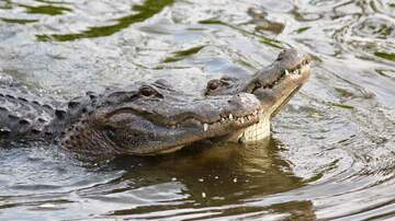 Monster - Alligator Safety from FWC