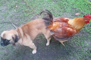 Dog Gets Stuck to Chicken