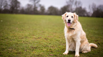 Carson - Golden Retriever Leads Ambulance Through Maze to Save His Owner [VIDEO]